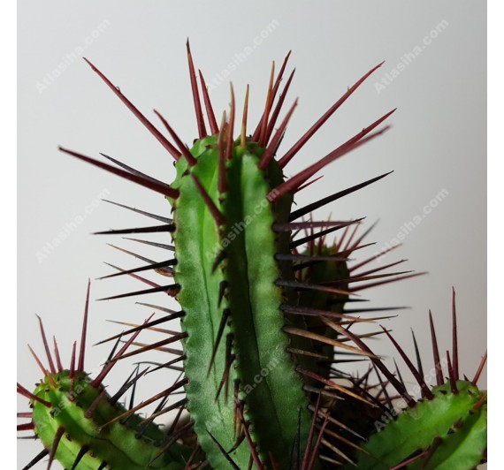 افوربیا انوپلا تیغ قرمز